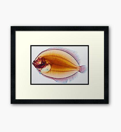 Galapagos Flounder Framed Print