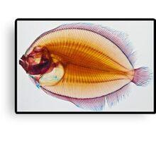 Galapagos Flounder Canvas Print