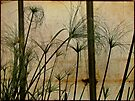 Papyrus - Nile Grass - Cyperus papyrus by MotherNature