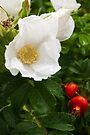 White Dune Rose - after the rain by steppeland