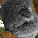 So very sleepy...Koala up a tree. by tarynb