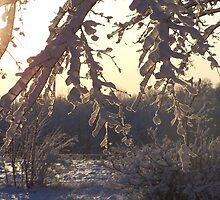 Sun shining through on snow covered branches by Angie Hammond