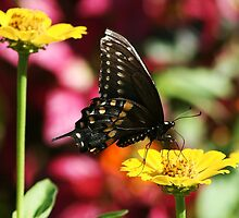 Black and Yellow Butterfly by Paulette1021