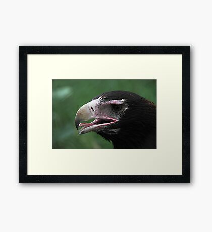 Wedge-Tailed Eagle Portrait Framed Print