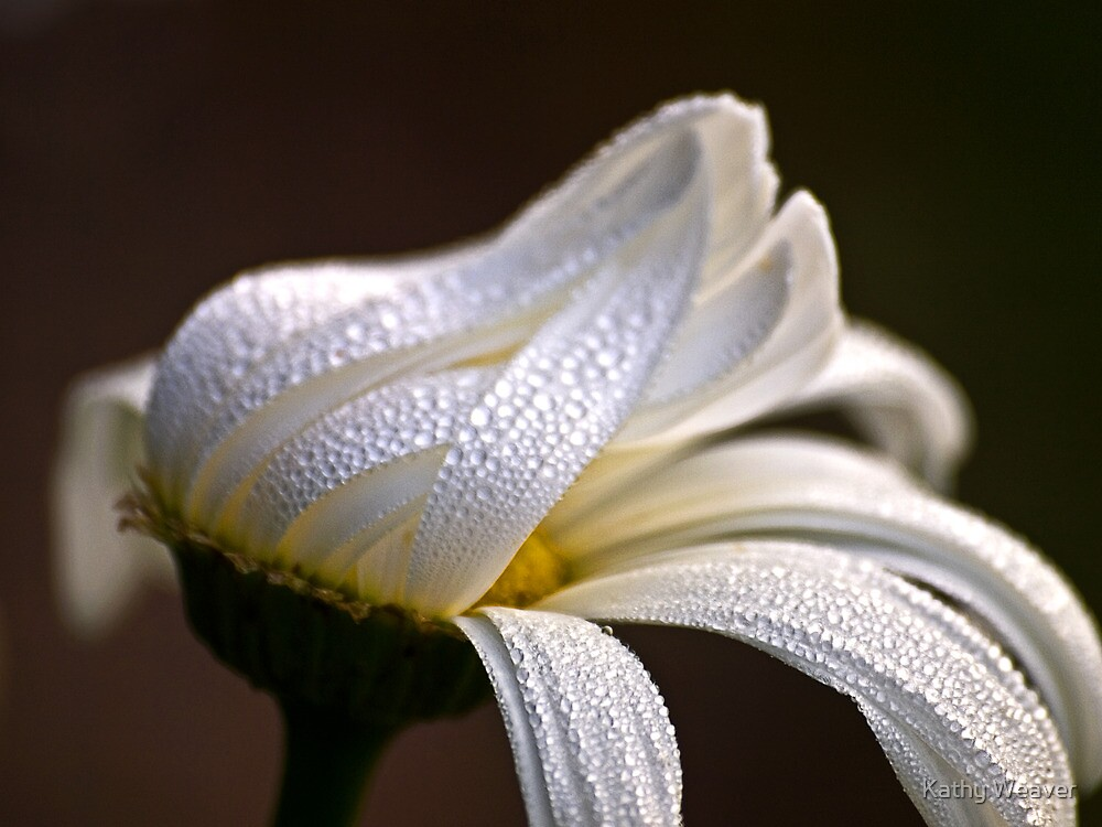 Daisy in the Rain by Kathy Weaver