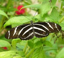 Zebra Longwing by Judy Wanamaker