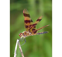 A male Halloween Pennant dragonfly. Photographic Print
