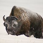 Yellowstone Bison 1 by Forrest J. Wolfe