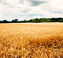 Summer Wheat: Green-to-Gold by MichelleDemuth