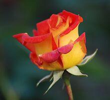 Rosy glow by justbmac