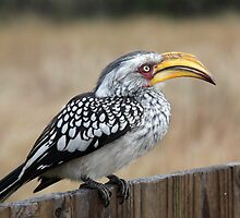 Southern Yellow-billed Hornbill by Ashley Crookes
