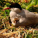 Arctic Tern & Chick - Inner Farne Island, UK by Derek McMorrine