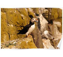 Satisfied Puffin - Farne Island, UK Poster