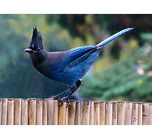 ~ Steller's Jay ~ Photographic Print