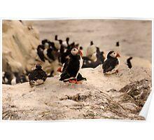 Puffins - Farne Island, UK Poster