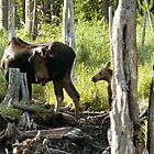 Bull Moose & Little Buddy by mooselandtours