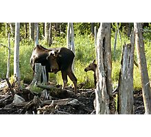 Bull Moose & Little Buddy Photographic Print