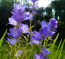 Beautiful Campanula by lynn carter