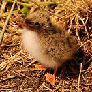 Arctic Tern Chick - Farne Island, UK by Derek McMorrine