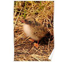 Arctic Tern Chick - Farne Island, UK Poster