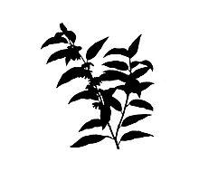 andromeda acuminata Brush Photographic Print