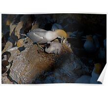 Bempton Cliffs 11 Poster