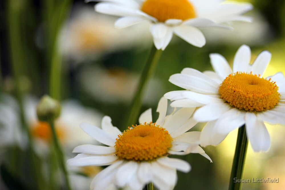 Daisies by Susan Littlefield