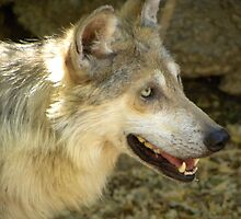 Mexican Grey Wolf by gcampbell