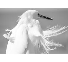 Snowy Egret with Wind Photographic Print