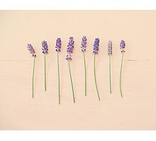 Lavender on pink Photographic Print