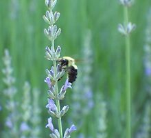 Buzzy Bee 1 by WalnutHill