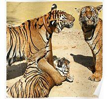 Tigers at Water Play Poster