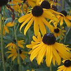 Black Eyed Susan by mnwagner