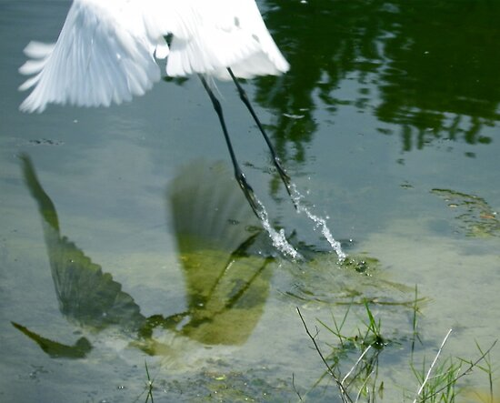 Reflection of an Egret in Flight by Caren