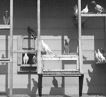 Rock Doves in B & W by elasita