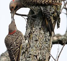 Yellow Shafted  Breakfeast / Northern Flicker by Gary Fairhead
