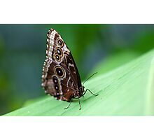 Beauty of the butterfly - Owl Butterfly Photographic Print