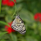 Rice Paper Butterfly by Tony Wilder