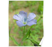 Wild Flax - Linum usitatissimum Poster