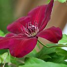 Clematis by Kelly Cavanaugh