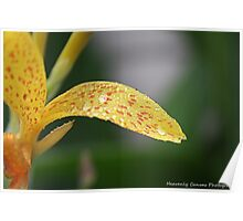 Yellow Canna Lily With Water Droplets Poster