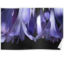 Agapanthus Dream Poster