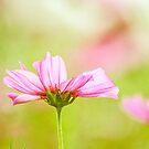 Pastel, flowers by Kornrawiee