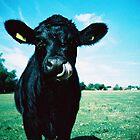Cow by dazb