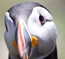 Puffin up close  by Meurig Davies