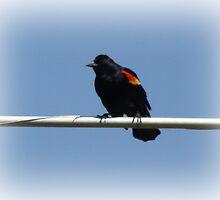 A Balancing Blackbird by vigor