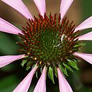 Purple Coneflower  by Michele Markley