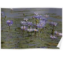 Waterlillies - Lake Narracooboobrei Poster
