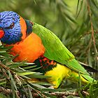 Red Collared Lorikeet by Ann  Van Breemen
