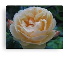 Summertime Lemon Rose Canvas Print